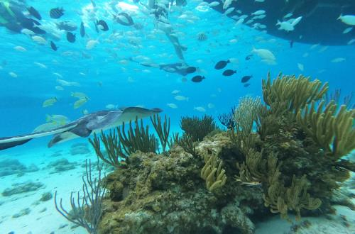 school of fish and a beautiful stringray swim above coral reef