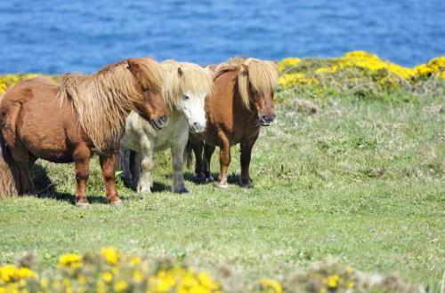 a group of three shetland ponies on a field