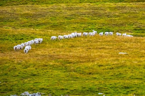 animals are walking through a beautiful field in shetland, uk