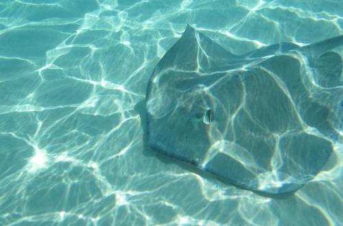 sting ray gliding over sand in clear water with sunlight dancing off the bottom