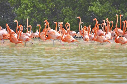 flock of flamingos standing in shallow waters in progreso
