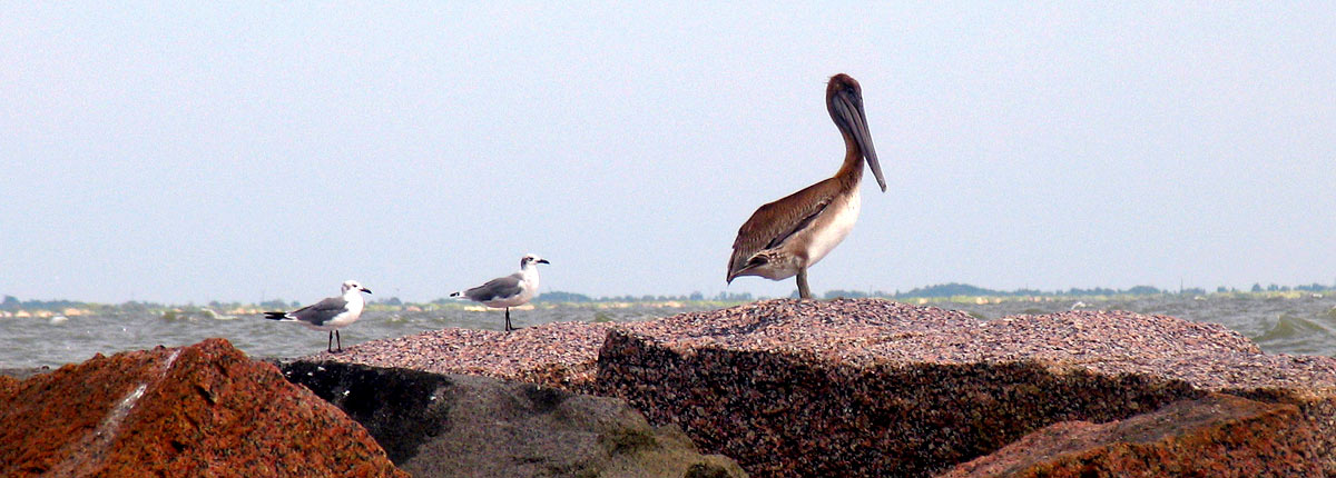 birds resting on a rock in galveston
